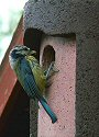Blue tit at nestbox