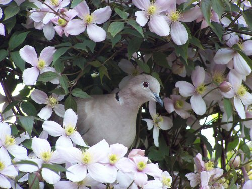 Collard dove in Clematis