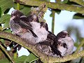 Long-tailed tit fledglings