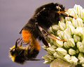 Mating red-tailed bumblebees