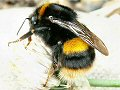 Queen buff-tailed bumblebee