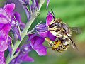 Female wool carder bee on purple toadflax