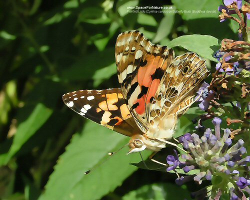 Wallpaper/preview-painted-lady.jpg